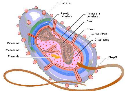 Batterio struttura al ME