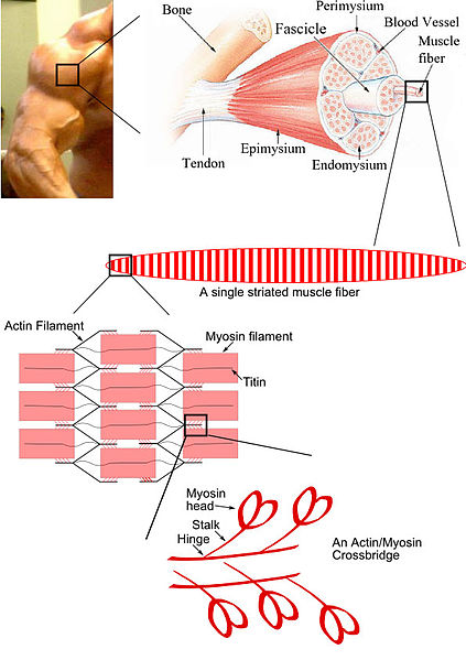 423px-Skeletal_muscle_diagram