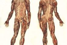 Anatomia e Fisiologia -Lezione n. 3: Sistema muscolare