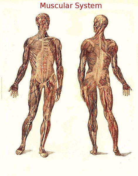 muscoli muto