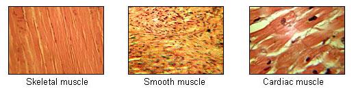 tipi di tess muscolare a confronto