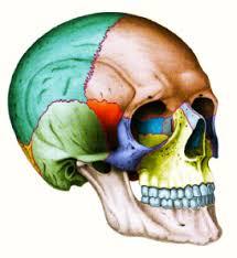 cranio tre quarti colorato