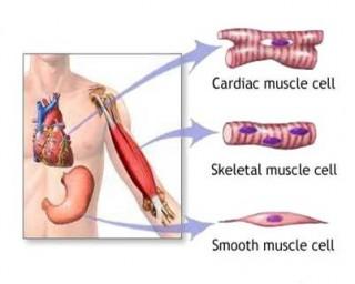 tipi di muscolo